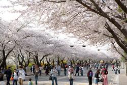 Tháng 4 du lịch Hàn Quốc với nhiều lễ hội hoa